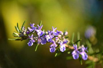 rosemary health benefits