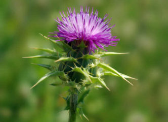 milk-thistle-uses