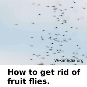 How to get rid of fruit flies.