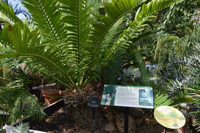 The giant Cycad